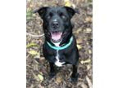 Adopt Nina Gaston a Black - with White Labrador Retriever / Mixed dog in