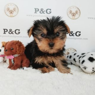 Yorkshire Terrier PUPPY FOR SALE ADN-105549 - YORKSHIRE TERRIER GEORGE MALE