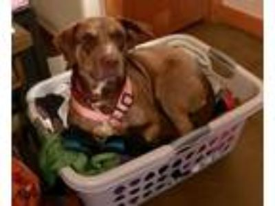 Adopt Lady G a Brown/Chocolate - with White Labrador Retriever / Mixed dog in