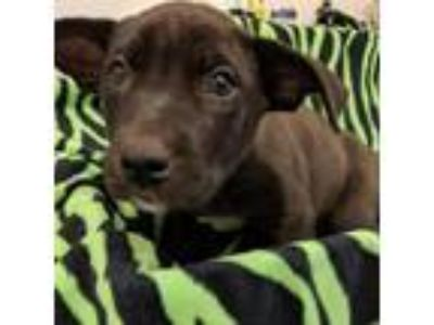 Adopt Cali Puppy 2 Red a Pit Bull Terrier