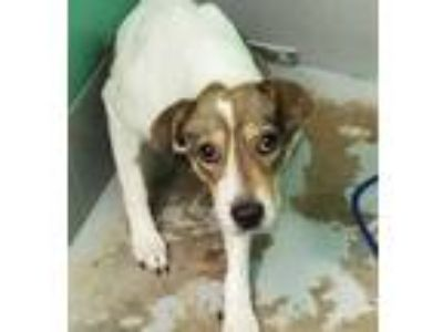 Adopt EMMA a White - with Tan, Yellow or Fawn Beagle / Mixed dog in Houston