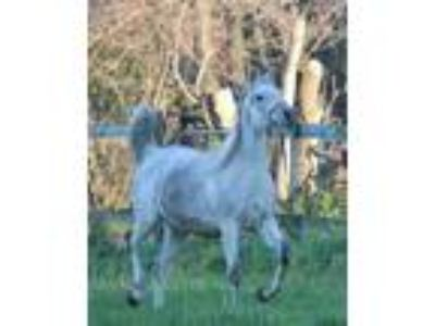 Wonderful Straight Egyptian Mare for sale