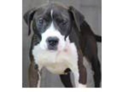 Adopt Pepperoni a Black American Pit Bull Terrier / Mixed dog in Shreveport