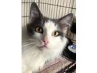 Adopt MASTER a Maine Coon