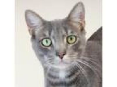 Adopt Ash a Gray or Blue Domestic Shorthair / Domestic Shorthair / Mixed cat in