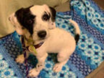 Adopt SPOT a White - with Black Dalmatian / Poodle (Standard) / Mixed dog in
