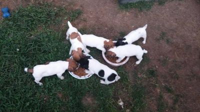 NAPR Jack Russell Puppies