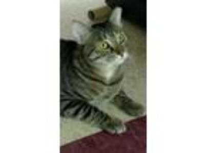 Adopt Pepper (bonded with Timea) a Tiger, American Shorthair