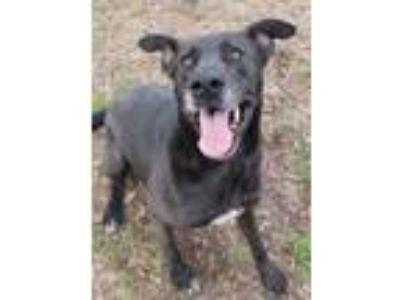 Adopt Titan a Labrador Retriever / Great Dane / Mixed dog in Memphis