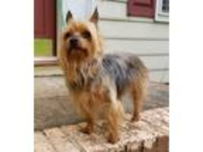 Adopt Chip a Yorkshire Terrier