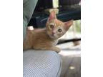 Adopt Charley a Orange or Red Domestic Shorthair / Domestic Shorthair / Mixed