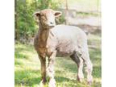 Adopt Jessie a Sheep