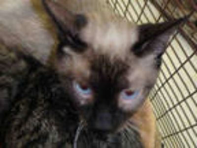 Adopt MAMA a Cream or Ivory (Mostly) Siamese / Mixed (short coat) cat in Los