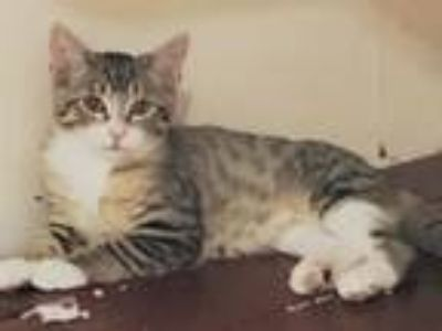 Adopt Bassoon a Brown Tabby Domestic Shorthair / Mixed (short coat) cat in