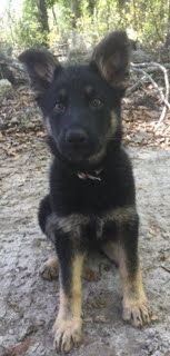 German Shepherd Dog PUPPY FOR SALE ADN-77234 - Juno