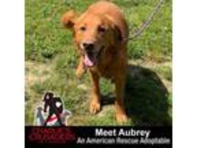 Adopt Aubrey a Golden Retriever
