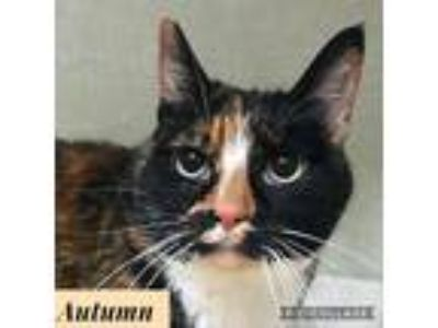 Adopt Autumn a All Black Domestic Shorthair / Domestic Shorthair / Mixed cat in
