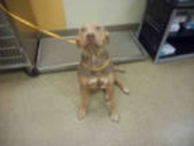Adopt ESA a Brown/Chocolate - with Tan American Pit Bull Terrier / Mixed dog in