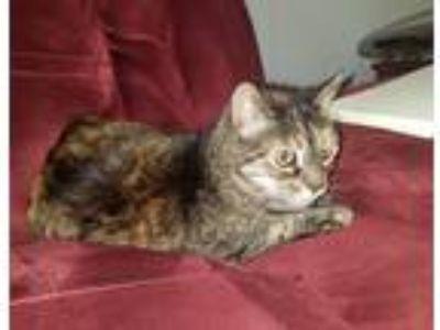 Adopt Sissy a Tortoiseshell Domestic Shorthair cat in Caledonia, NY (25561506)