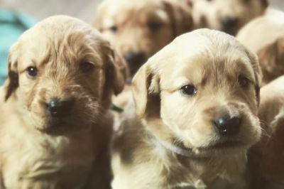 Golden Retriever PUPPY FOR SALE ADN-107309 - Christmas Golden Retrievers