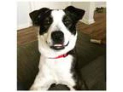 Adopt Huck a Australian Shepherd, Boston Terrier