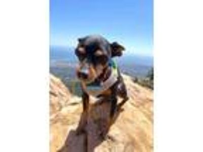 Adopt Scottie a Miniature Pinscher