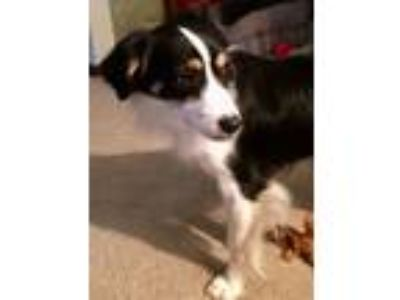 Adopt Boomer a Tricolor (Tan/Brown & Black & White) Australian Shepherd / Mixed