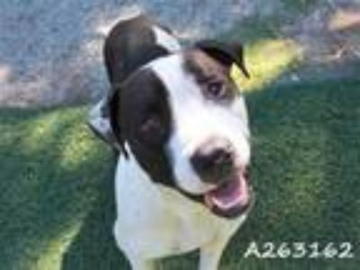 Adopt HOOFY a White - with Black American Pit Bull Terrier / Mixed dog in