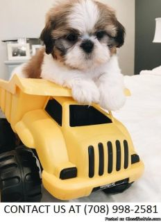 Astute M/F Shih Tzu Pups Available For Sale