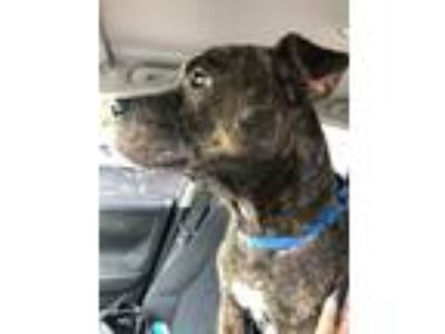 Adopt Rocky a Brindle Pit Bull Terrier / Mixed dog in Orlando, FL (23886235)