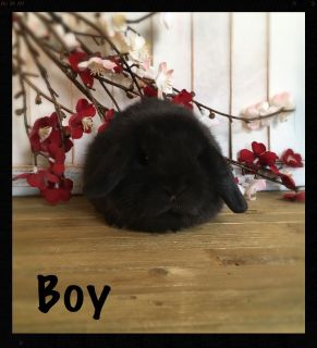 Super Cute Holland Lop Bunnies