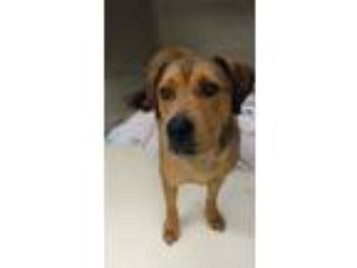Adopt Hettie a Brown/Chocolate Mixed Breed (Large) / Mixed dog in Kalamazoo
