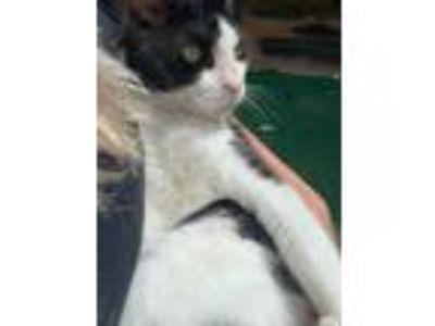Adopt Sparta a Black & White or Tuxedo Domestic Mediumhair cat in Huntington