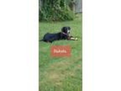 Adopt Dakota a Labrador Retriever, Border Collie