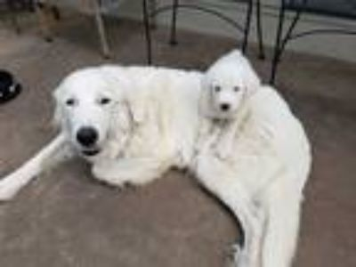 Adopt Sunshine a White Great Pyrenees / Mixed dog in Statewide, TX (25298351)