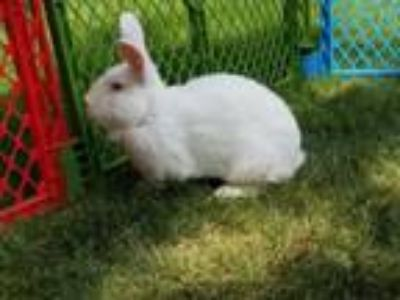 Adopt Peter Rabbit a Florida White