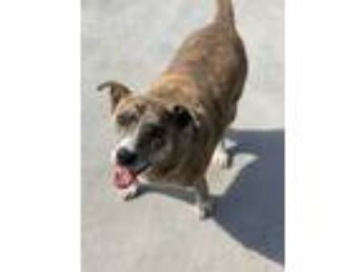 Adopt Sophia a Brindle Plott Hound / Mixed dog in Merrill, WI (25644305)