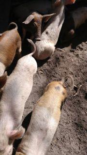 9 week old baby pigs