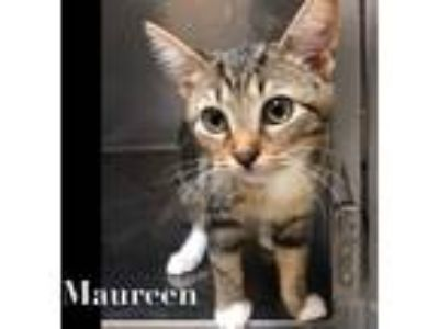 Adopt Maureen a Brown Tabby Domestic Shorthair (short coat) cat in Ft.