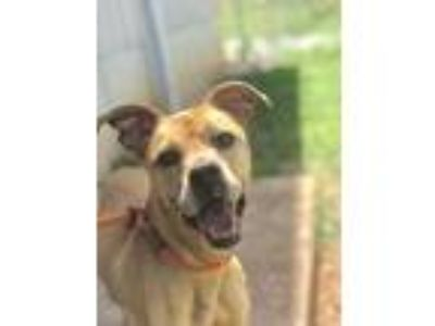 Adopt Camy/Marley a Tan/Yellow/Fawn Labrador Retriever / Mixed dog in