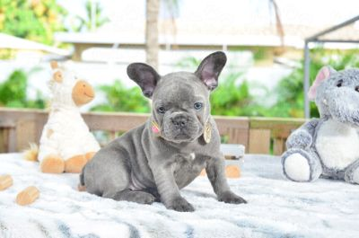 French Bulldog PUPPY FOR SALE ADN-104618 - Blue Brindle Female Truffles