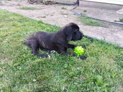 Cane Corso PUPPY FOR SALE ADN-100823 - KIMBO  Kashs Kennel Cane Corso Puppies for Sale