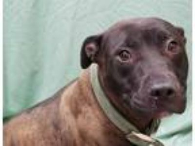Adopt OLIVIA a Brindle American Pit Bull Terrier / Mixed dog in Fairfield