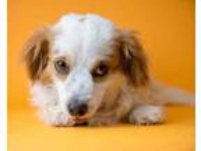 Adopt Wallace a White Terrier (Unknown Type, Small) / Mixed dog in Palm Springs