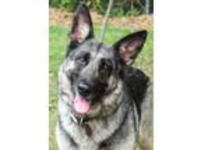 Adopt Jasmine a Black - with Gray or Silver German Shepherd Dog / Mixed dog in