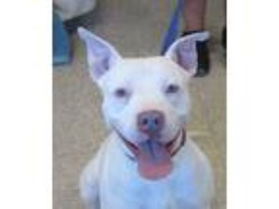 Adopt Bella a White American Pit Bull Terrier / Mixed dog in Glenwood
