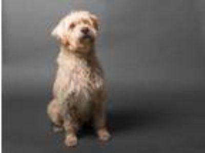 Adopt Niccolo a Tan/Yellow/Fawn Labrador Retriever / Wheaten Terrier / Mixed dog