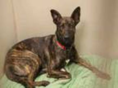 Adopt HANNAH a Dutch Shepherd