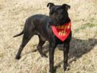 Adopt JESS a American Staffordshire Terrier, Mixed Breed