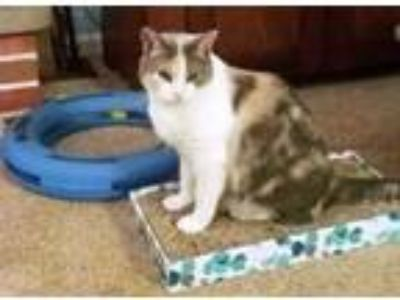 Adopt Janet a Calico or Dilute Calico Domestic Shorthair (short coat) cat in